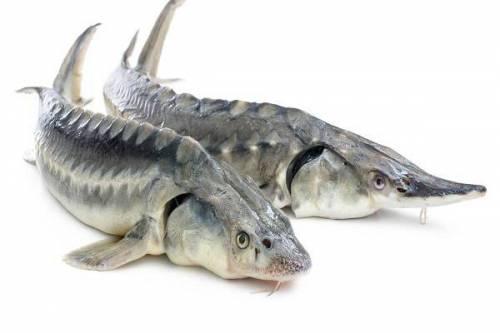 پاورپوینت ماهیان خاویاری
